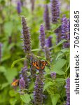 Small photo of Image of giant Anise hyssop (Agastache foeniculum) and small Tortoiseshell (Aglais Urticae) in a summer garden