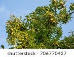 green bartlett pears or...   Shutterstock . vector #706770427