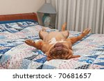 Stock photo dog lying upside down on her back on the bed with patchwork quilt 70681657