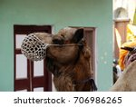 india  varanasi. camel on the... | Shutterstock . vector #706986265
