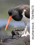 Small photo of American Oystercatcher (Haematopus palliatus galapagensis), Galapagos subspecies parent feeding a downy chick on Santiago Island, Galapagos.