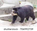 Small photo of Spectacled bear The spectacled bear is the only South American bear. It inhabits tropical rainforest. Bears live in remote places, and have great dexterity – they nimbly climb trees.