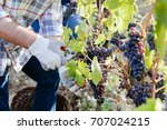 young adult man harvesting red... | Shutterstock . vector #707024215