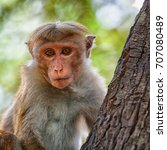 monkey on the tree. looking at... | Shutterstock . vector #707080489