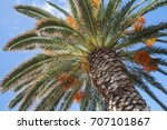 Date Palm With Edible Sweet...