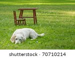 White dog resting in the shade in yard of green grass - stock photo