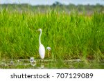 A Great Egret In The Grass At...