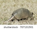Tail End Of An Armadillo With...