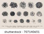 dahlias set. botanical vector...   Shutterstock .eps vector #707140651