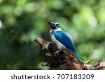 collared kingfishers. a common... | Shutterstock . vector #707183209