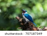 collared kingfisher. a common... | Shutterstock . vector #707187349
