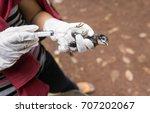 veterinary inject vaccine to... | Shutterstock . vector #707202067