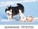 Two Siberian Husky Playing On...