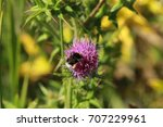 Thistle With Bumblebee This Is...