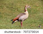 An Egyptian Goose Standing In A ...