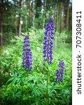 three blue lupine flowers ... | Shutterstock . vector #707308411
