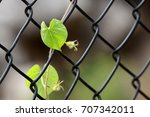 chain link fence with vine  ...   Shutterstock . vector #707342011
