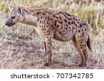 wild hyena spotted in serengeti ... | Shutterstock . vector #707342785