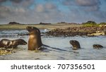 sea lions at play in the... | Shutterstock . vector #707356501