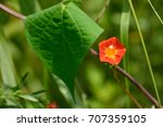 Small photo of Pretty flowers of Red Morning Glory or Redstar (Ipomoea coccinea)