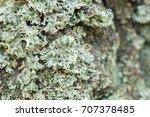 Lichenized Fungus Or Lichen On...