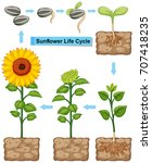 life cycle of sunflower plant... | Shutterstock .eps vector #707418235