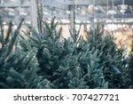Christmas Trees In A Garden...