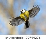 Stock photo frontal view of flying blue tit nice flight of nice bird 70744276