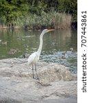 eastern great egret ardea alba...   Shutterstock . vector #707443861