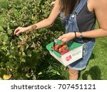 Small photo of A woman picks raspberries on a pick your own farm