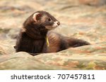 polecat posing and relaxing on... | Shutterstock . vector #707457811
