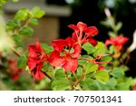 Small photo of Red Orchid Tree or African Plume,flowers on natural background.