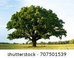 lonely green oak tree in the... | Shutterstock . vector #707501539