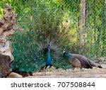 Beautiful Indian Male Peacock...