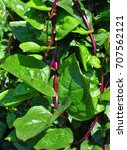 malabar spinach  basella alba  | Shutterstock . vector #707562121