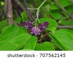 five leaf akebia  akebia... | Shutterstock . vector #707562145