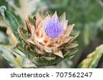amazing artichoke blooming buds.... | Shutterstock . vector #707562247