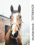 Small photo of Portrait of a brown Belgian warmblood horse outdoors