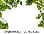 panoramic green leaves on white ...   Shutterstock . vector #707585659