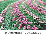 flowerbed with tulips and... | Shutterstock . vector #707633179