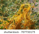 Small photo of Cuscuta, dodder, parasitic plant
