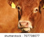 close up head of red cow with... | Shutterstock . vector #707738077