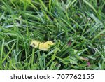 Small photo of American Dagger Moth caterpillar crawling in the grass.