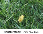 Small photo of American Dagger Moth caterpillar in the grass