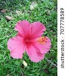 hibiscus rosa sinensis  chinese ... | Shutterstock . vector #707778589