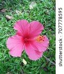 hibiscus rosa sinensis  chinese ... | Shutterstock . vector #707778595