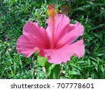 hibiscus rosa sinensis  chinese ... | Shutterstock . vector #707778601