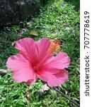 hibiscus rosa sinensis  chinese ... | Shutterstock . vector #707778619