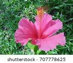 hibiscus rosa sinensis  chinese ... | Shutterstock . vector #707778625