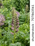 Small photo of Acanthus spinosus (Armed Bear's Breech) in a Country Cottage Garden in Rural Devon, England, UK